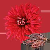 ChrysanthemumSeed.png