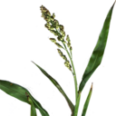 Fresh Sorghum (Primitive Plus).png