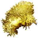 Fire Coral.png
