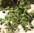 Blackberry Bush.png