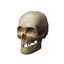 风化的颅骨
