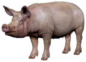 Pig1.png