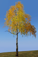 Birch Tree.png