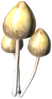 Psilocybe.png