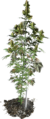 CannabisPlant Leaked2.png