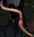 Earthworm.png