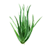 Aloe Vera Sprout.png