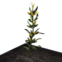 Corn (Plant) - Official Empyrion: Galactic Survival Wiki