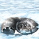 Igloo Larvae.png