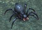 Spear-spiderling.jpg