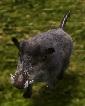 Boar-companion.jpg