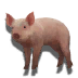 Pet piglet icon.png