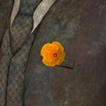 FNV California Poppy.png