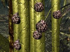 Punga seeds on Mother Punga.jpg