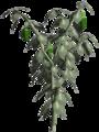 Jalapeno-plant.png