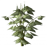 Pinto bean plant.png
