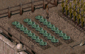 Fo2 Cabbage.png