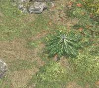 Env mandrake root.jpg