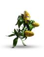 link=Kernel Corn