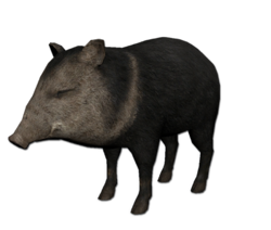 Peccary.png