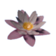 Lily flower.png