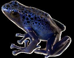Poison Dart Frog Blue.png