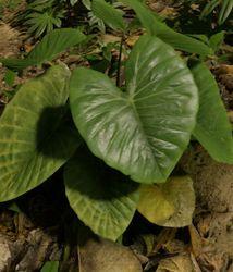 Malanga Plant.jpg