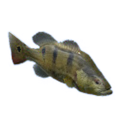 Peacock Bass.png