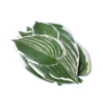 Plantain lily flower.png