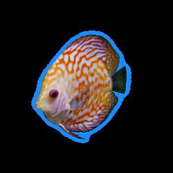 Discus fish.png