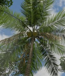 Coconut PalmTree.jpg