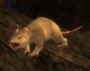 Albino Rat.jpg
