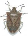 Brown stink bug adult copy.png