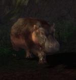 Aggressive Hippopotamus.jpg