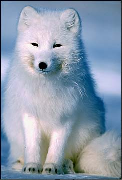 Arcticfox1234.jpg