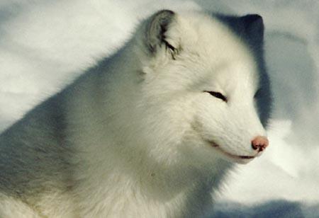 Arctic fox NP.jpg