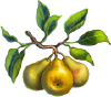 Pear Seeds.png