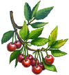 Cherry Seeds.png