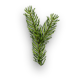 Spruce sprout.png