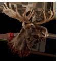 Big moose head.png
