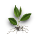 Elm sprout.png