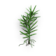 Juniper sprout.png
