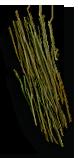 Flax stem.png