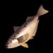 Sailfin Sandfish.png