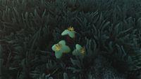 Tserumaflower.jpg