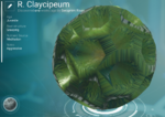 R. Claycipeum