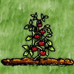 Fruiting Tomato Plant