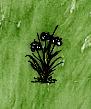 Wild Onion(plant).jpg