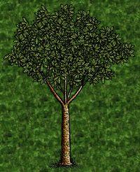 Rubber Tree.jpg