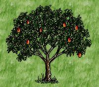 Fruiting Domestic Mango Tree
